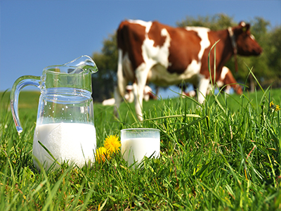 Cow in field with pitcher of milk