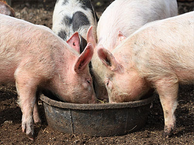 Pigs feeding from bowl